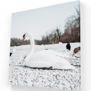 El Cisne Canvas C Krea Canvas - Cuadros Decorativos Para Salas