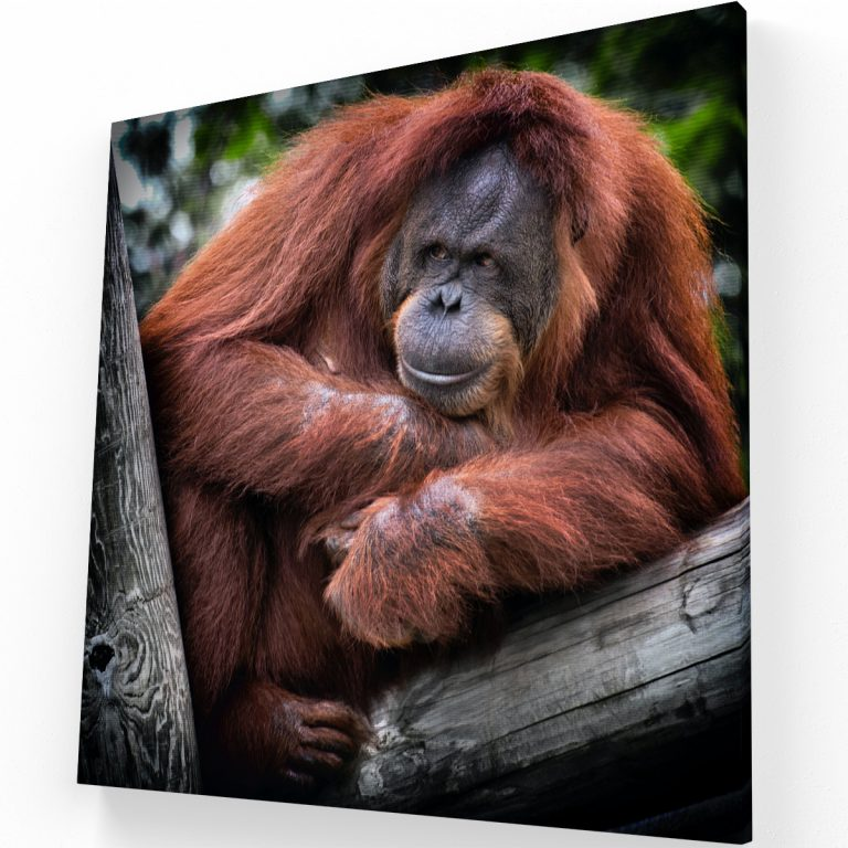 Orangutan Canvas C Krea Canvas - Cuadros Decorativos Para Salas